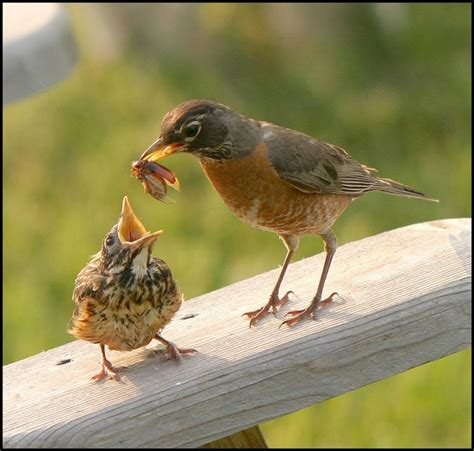 kidnapping baby animals robins lunches and bird