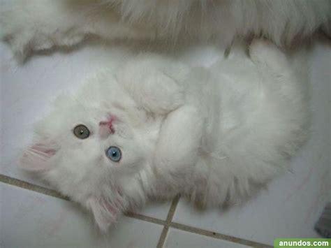 persian cats in orlando my persian kittens persian gatos persa machos y hembras madrid ciudad