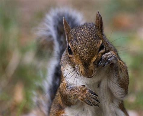gabbia di scoiattolo lo scoiattolo asinus novus