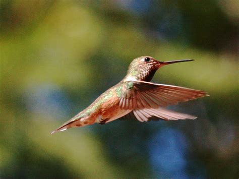 rufous hummingbird photo greg gillson photos at pbase com