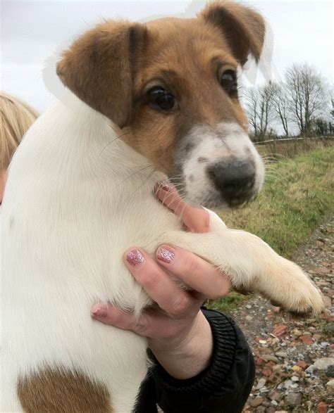 smooth fox terrier puppies smooth fox terrier puppy taunton somerset pets4homes