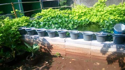 Ukuran Kolam Bibit Ikan Gurame budidaya ikan gurame di kolam terpal