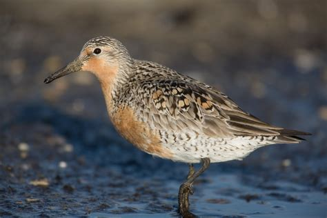 red knot audubon field guide