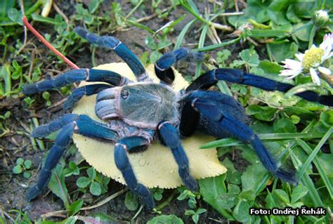 gc18dt2 i tarantula #5 cobalt blue (traditional cache