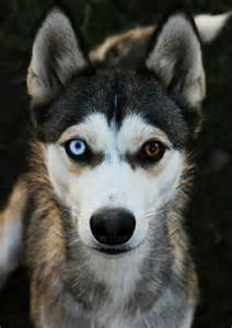 puppy eye color the most beautiful husky