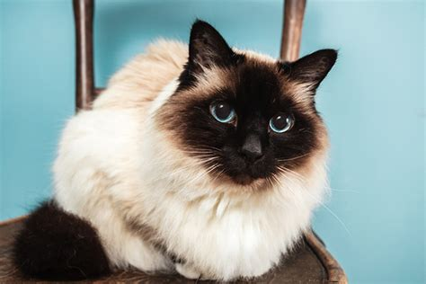 Get to Know the Birman: A White Booted Beauty of a Cat