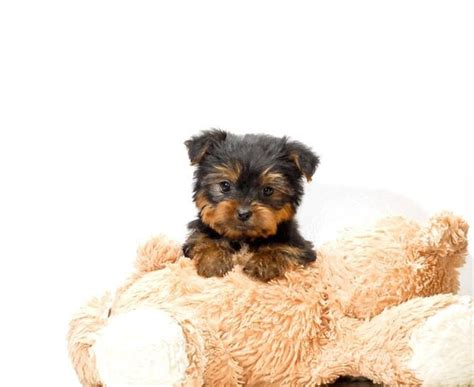 teacup yorkies for sale in ohio teacup is one of our yorkie puppies for sale near toledo ohio one look into