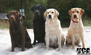 lab colors labrador retriever breed information and pictures united