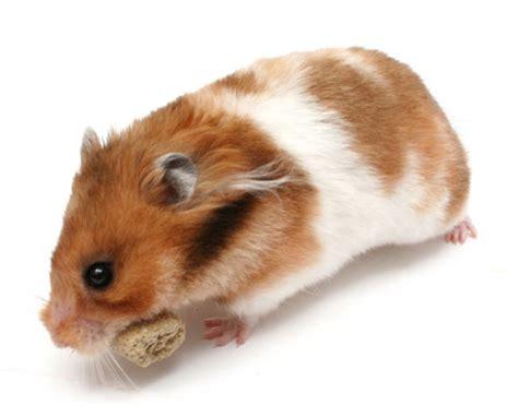 syrian hamsters petopedia