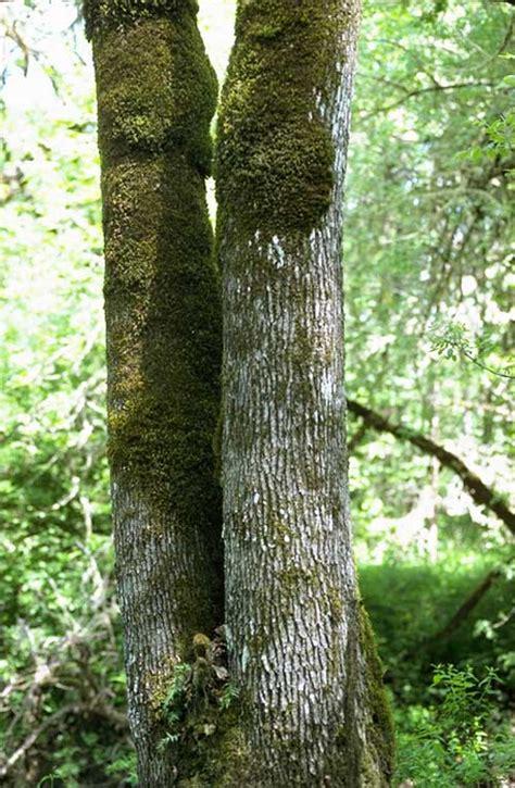 tree species ash genus common trees of the pacific northwest