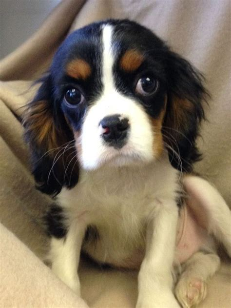 king charles cavalier puppies for sale in pa 25 b 228 sta spaniel puppies for sale id 233 erna p 229 king charles spaniels