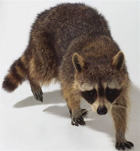how to get rid of a raccoon in your backyard getting rid of raccoons how to build a house
