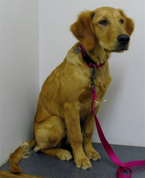 golden retriever at 5 months 5 month golden retriever inn animal clinicfountain inn animal clinic