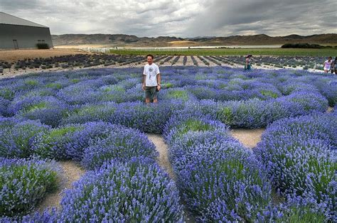 lavender maze lavender labyrinth at young living farm in mona utah