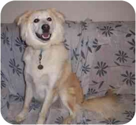 golden retriever rescue cincinnati ohio toby adopted cincinnati oh golden retriever sheltie shetland sheepdog mix