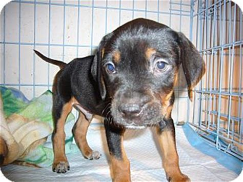 rottweiler boxer mix puppies for sale rottweiler boxer mix puppies www pixshark images galleries with a bite