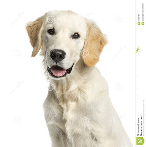 golden retriever up up of a golden retriever stock photo image 63256467
