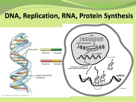 dna replication and protein synthesis venn diagram dna replication rna protein synthesis ppt