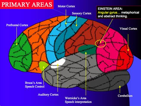 regions diagram the complexity of the frontal lobes