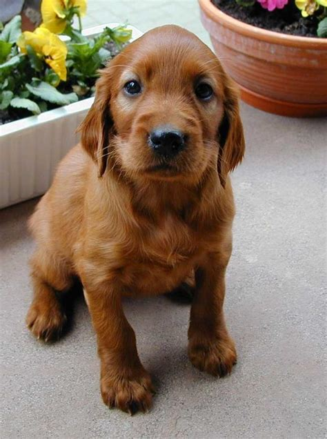 welpen gesucht setter welpen gesucht ab februar 2002 hunde