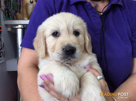 golden retriever breeders qld golden retriever puppies at puppy shack brisbane o7 33566319 for sale in brisbane qld