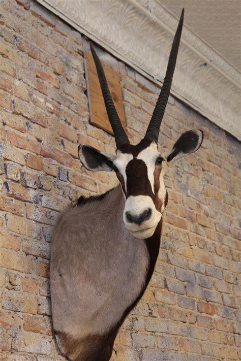 gemsbok oryx taxidermy  orange moon mid century