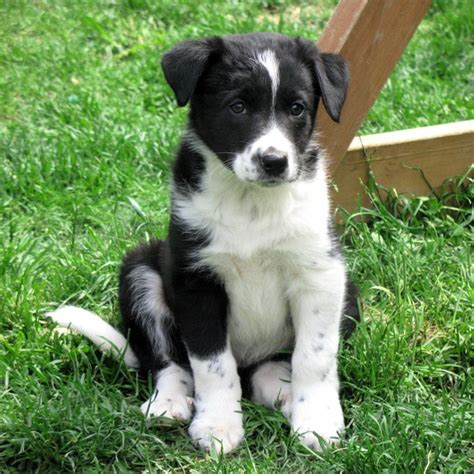 border collie mix puppies border collie cross puppy puppies for sale dogs for sale in ontario canada