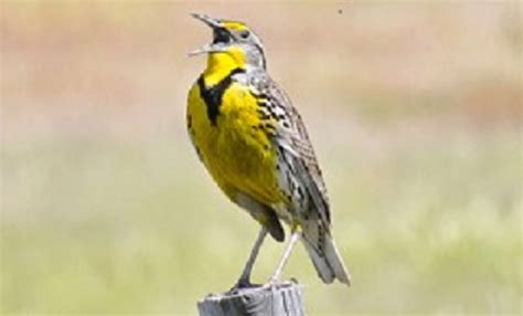 meadowlark may get booted as oregon state bird