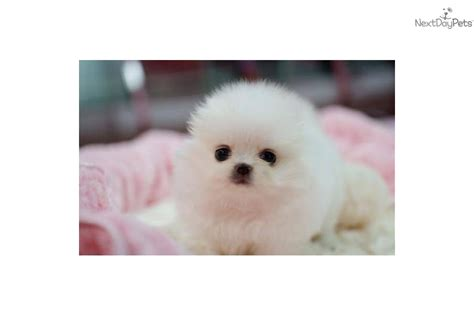 pomeranian for sale omaha tiny teacup maltese puppy for sale bellevue animals breeds picture