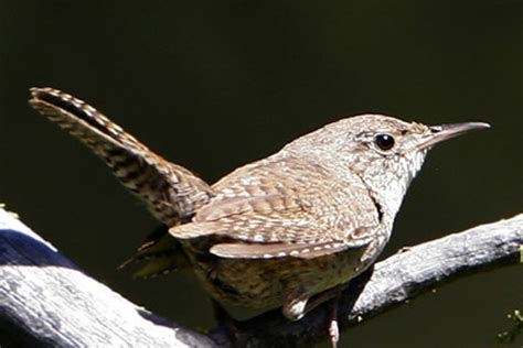 house wren song the tail of the wren birdnote