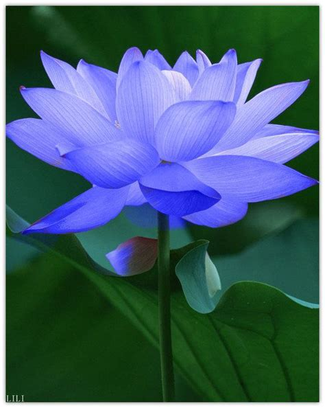 best 20 blue lotus ideas on blue lotus flower