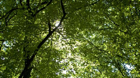 treetops wallpaper 585456