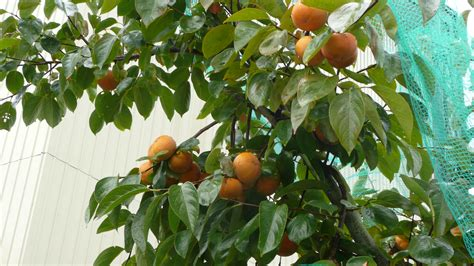 size fruit trees for sale fruit type tree outside breeders koi house koi