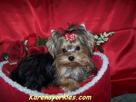 teacup silky yorkie for sale teacup silky terrier puppies for sale breeds picture