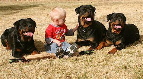 marlos rottweilers welcome www marlosrottweilers