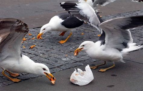 can seagulls eat bread seagull fightback begins as conwy council introduces bye to on feeders daily post