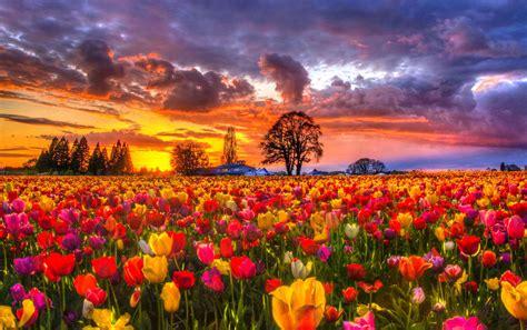 tulip field tulip field sunset hd fond d 233 cran and arri 232 re plan