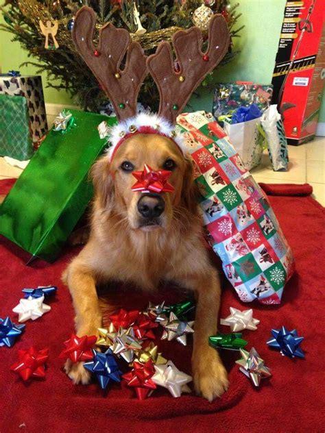 173 best golden retrievers holidays images on pinterest