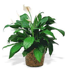floor plant matlack florist floor plant a lush green plant adds life