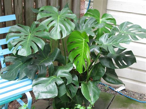 indoor house plant split leaf philodendron indoor house plant air purifier