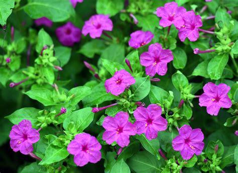 Japanische Wunderblume Pflanzen 6149 japanische wunderblume pflanzen mirabilis jalapa
