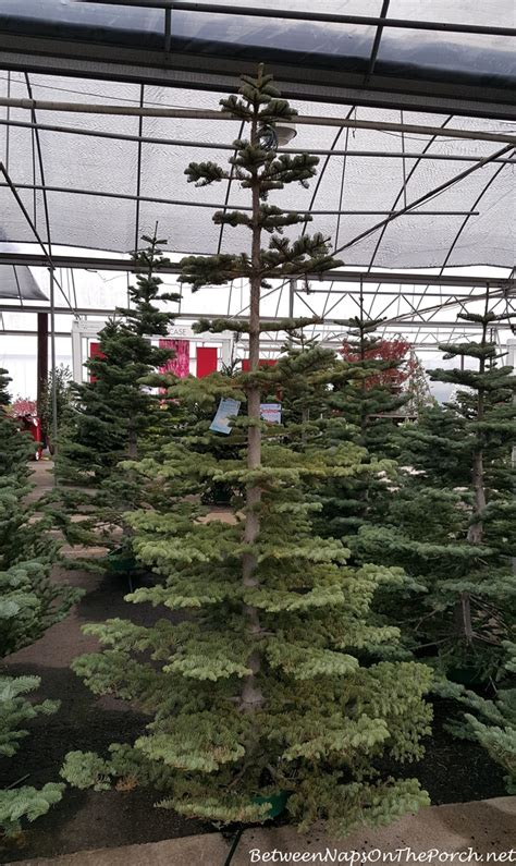 pike nursery christmas trees looking for some decorating inspiration