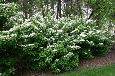 viburnum tinus vaso viburno viburnum viburnum piante da giardino