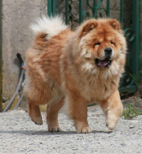 chow chow accueil elevage le domaine de fabadel eleveur de chiens chow chow