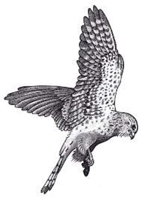 kestrel tattoo designs sparrowhawk bird drawing by bird artist phil mumby birds
