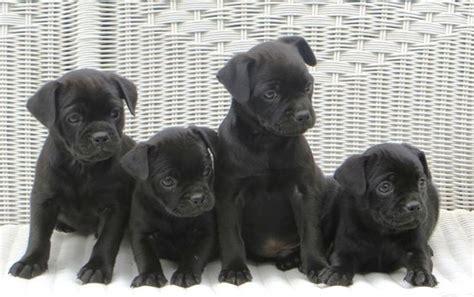 pug miniature pinscher pug and miniature pinscher muggin pug mixed breeds pug miniature