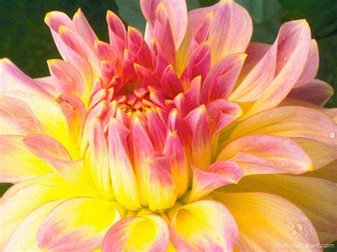 exclusive wallpapers on beautiful flowers the flower expert