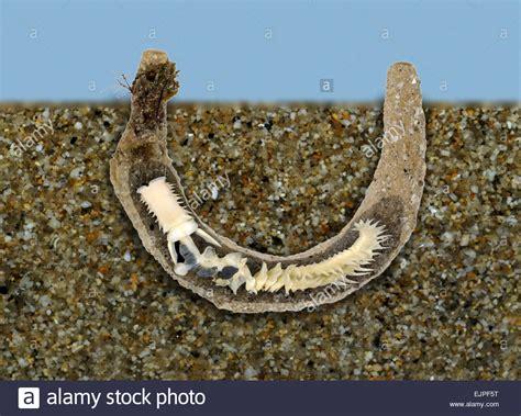 stock photos stock images alamy parchment worm chaetopterus variopedatus stock photo