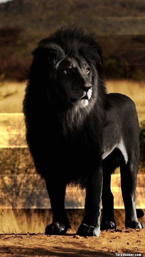 imagenes leones blanco y negro un le 243 n negro fotos de humor