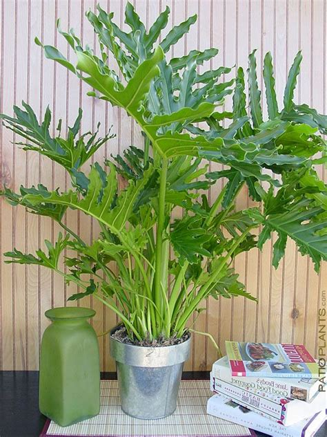 philodendron selloum giant phil large  pot house